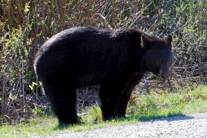 A Black Bear in Banff National Park