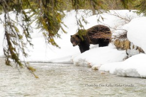 The frist grizzly bear sighting in Banff National Park for 2011